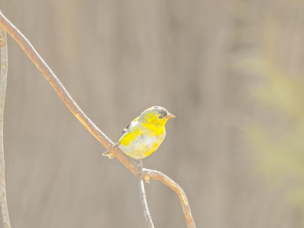 Perching Yellow Finch