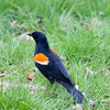 Red Winged Blackbird standing on the ground,looking alert.