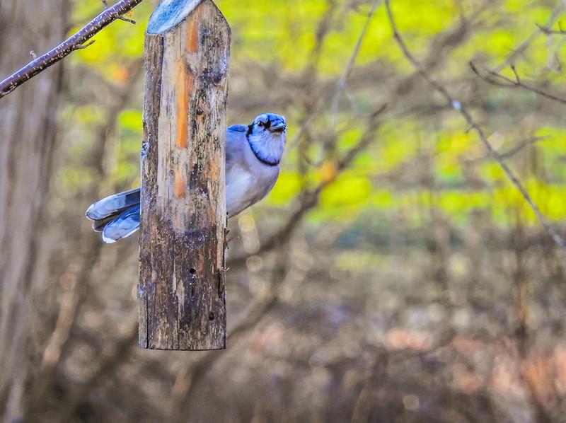 An alert Blue Jay clinging to a feeder log