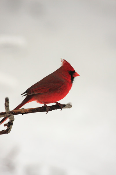A Vertical Stock Photograph of a Northern Cardinal perching on a branch.