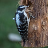 female hairy woodpecker.dng