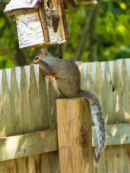 Gray  squirrel 3