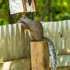 Gray  squirrel 3