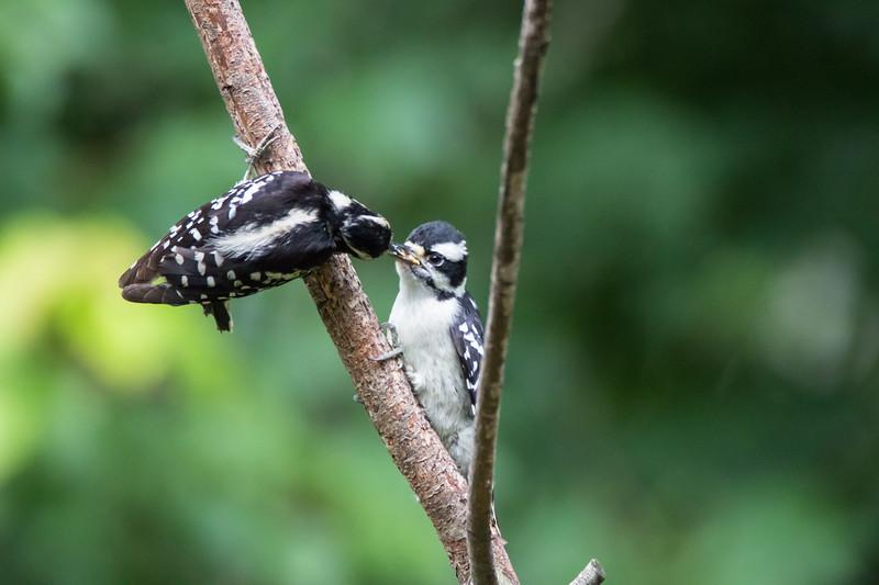 A female downy woodpecker feeding suet to a young female downy.