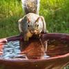 grey squirrel 2