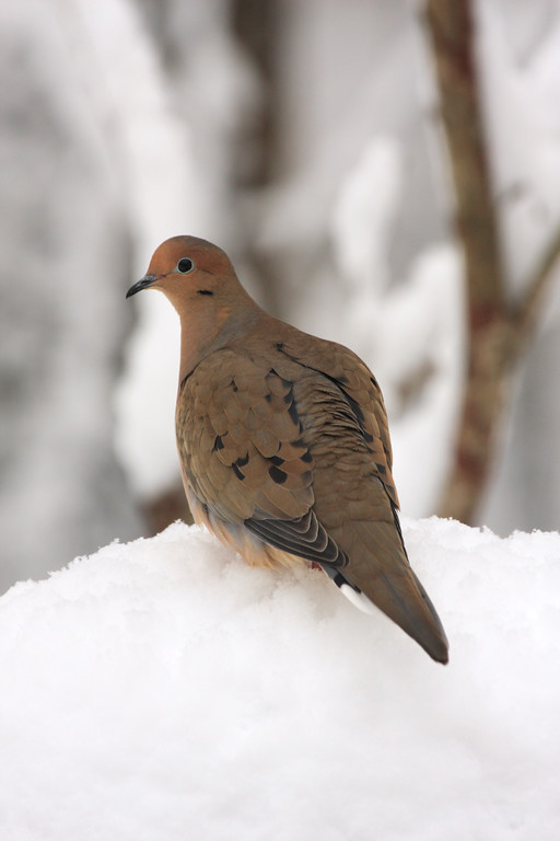 A Vertical Stock Photograph of a mourning dove on a snowy perch.