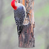 Red Bellied Woodpecker clinging to feeder log