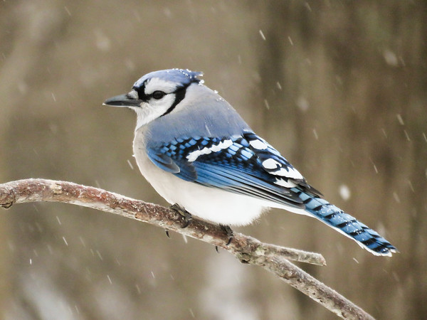 Perching Bluejay in a winter snow storm.
