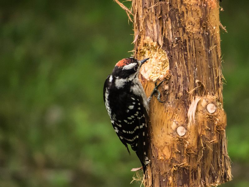 male downy woodpecker.dng