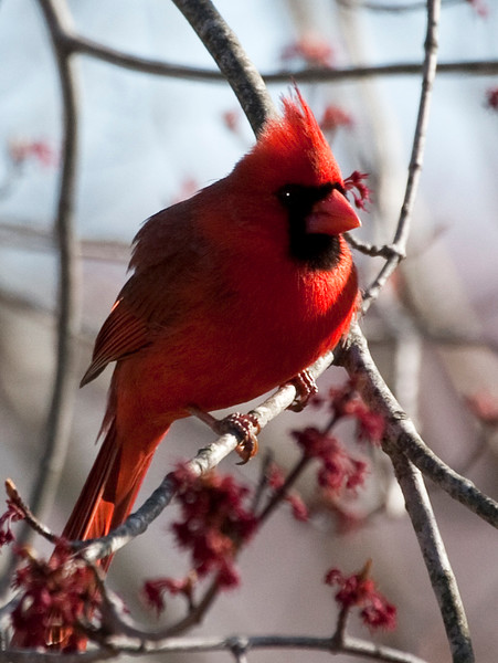 A vertical stock photo of a  bright red northern cardinal pearching on the limb of a budding maple tree. A beautiful spring day.
