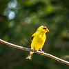 A horizontal stock photograph of a Gold Finch perched on a branch.