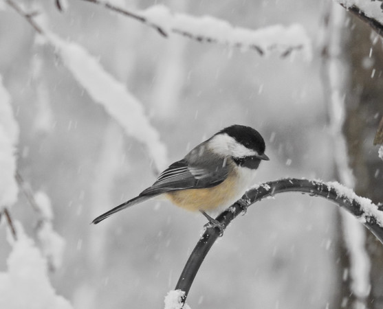 Black Capped Chicadee perching in snow storm.