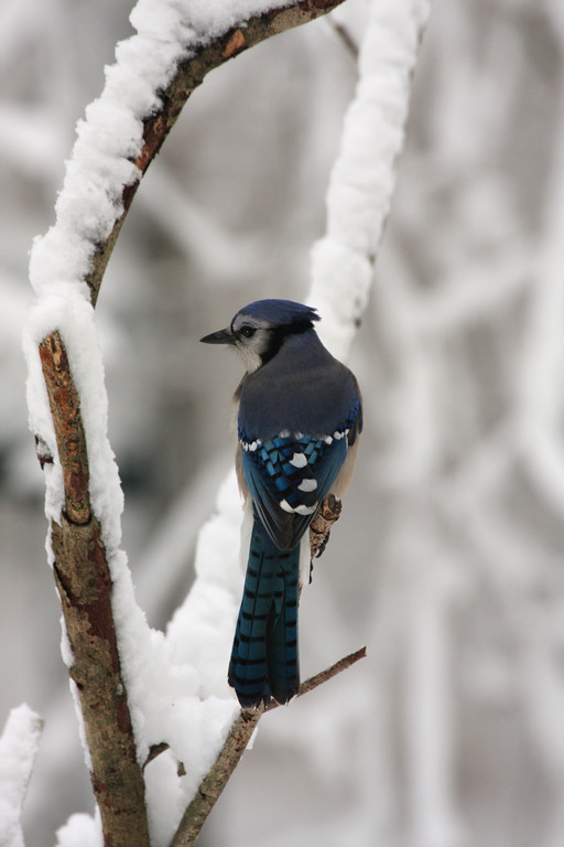 Bluejay perching on a winter branch