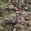 Mourning dove standing on the ground