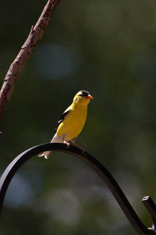 A vertical stock photograph of a  Gold finch perching.
