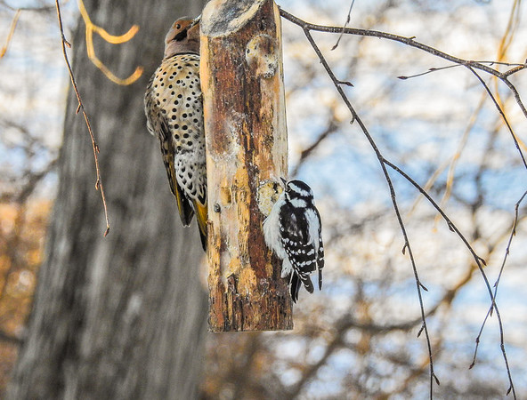 Female Downy woodpecker and Northern Flicker clinging to a feeding log.