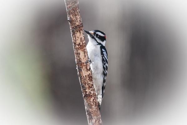 Male Downy Woodpecker clinging to a limb.