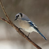 A Vertical Stock Photograph of a Bluejay perching on a dead branch.