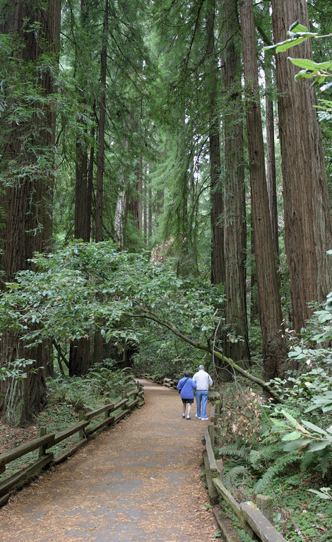 A vertical stock photo of an elderly Father and his Daughter Walking in Muir Woods National Park California.