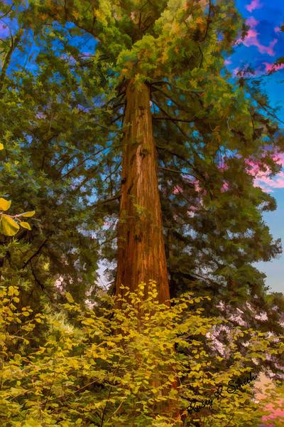 A lone redwood tree standing tall and strong.