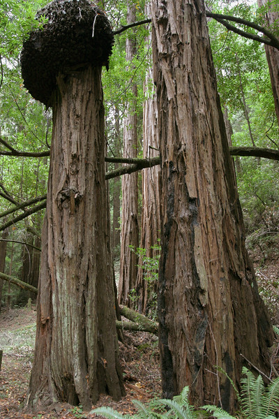 A vertical stock photo of Coastal Redwoods with Burl Hump. John Muir National Park California.