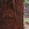 A horizontal stock photograph of a closeup view showing the shaggy bark of a California redwood in Muir Woods National monument.