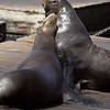 A vertical stock photograph of two California Sea lions San Francisco Pier 39.