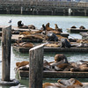 A horizontal photograph of a group of California sea lions resting on the pontoons at pier 39 San Francisco California.
