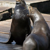 A vertical stock photograph of two California Sea-lions talking to each other at Pier 39 San Francisco California.