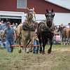 Two draft horses being lead to the sled pull arena.