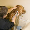 A vertical stock photograph Mac the golden retriever getting his ears washed.
