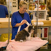 Working grooming salon showing a female groomer blow drying a very old dog with safety straps installed.