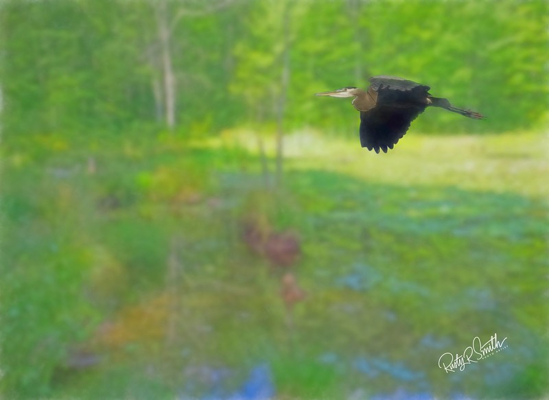 Blue Heron in flight over Connecticut Marsh.