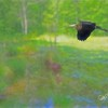 Blue Heron in flight over Connecticut Marsh.