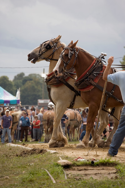 Close up of two draft horses setting up to pull the sled.