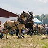 Two Draft Horses showing high spirit on the way to the sled pulling contest.