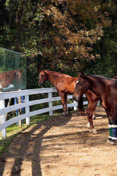 A Vertical Stock Photograph of two horses standing in front of a mirror used to check riding styles.