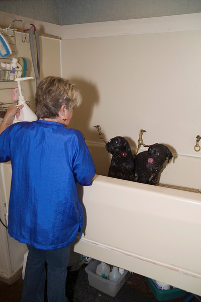 Working grooming salon showing a female groomer bather with two small black dogs in the tub. Dogs are clipped to the wall for safety.