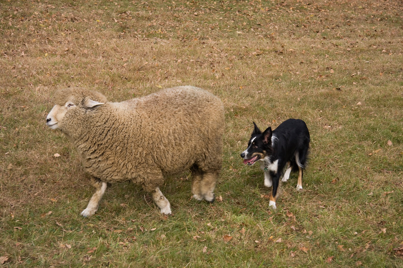 A horizontal stock photograph of a border collie herding a single sheep, on a beautiful fall day in Connecticut.
