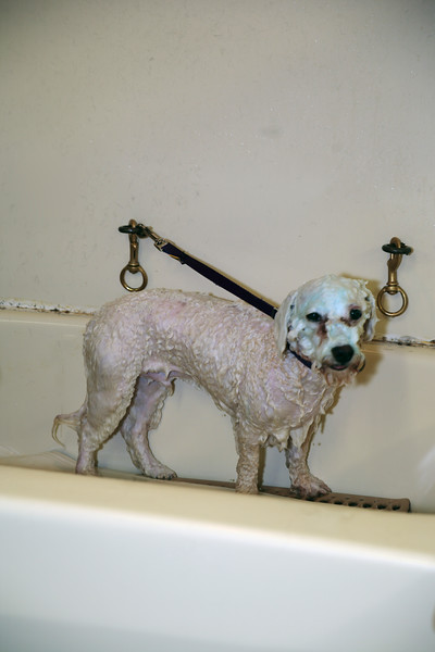 A vertical stock photo of a poodle mixed dog soaped up waiting for his rinse before grooming.