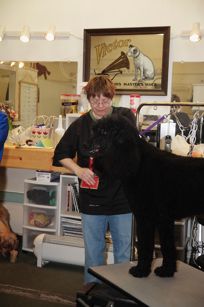 A vertical stock photo of a female dog groomer brushing a standard poodle.
