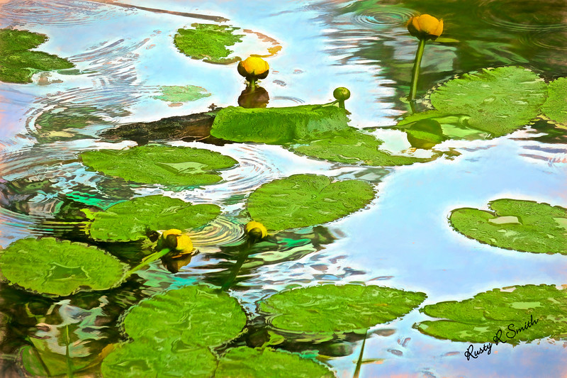 Yellow pond lillies in spring.