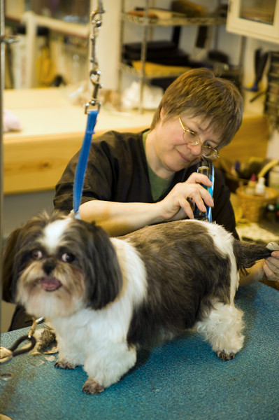 Working grooming salon showing a female groomer working on a very old dog with safety straps installed.
