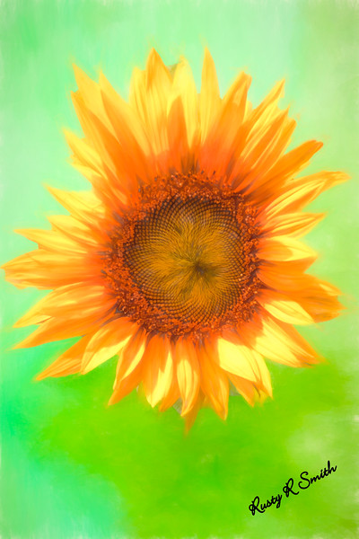 Single sun flower blossom.