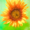 Single sun flower blossom.