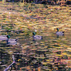 Mallards on autumn pond