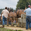 Two draft horses dig in to pull the sled.