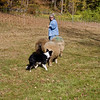 A horizontal stock photograph of a border collie herding three sheep, while the female trainer watches on. A beautiful fall day in Connecticut.