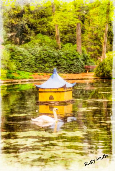 Mute swan swimming in oriental garden pond.