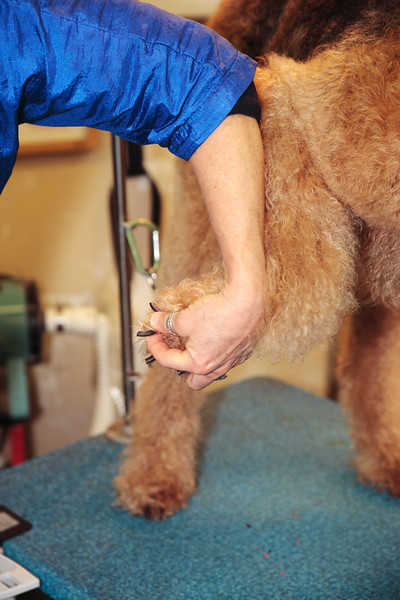 A vertical stock photo showing a closeup view of a female dog groomer cutting the nails of an airdale.